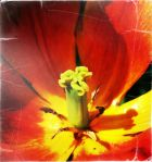 Tulip Close Up, Holland Michigan