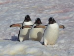 Penguins on a mission - Antarctica