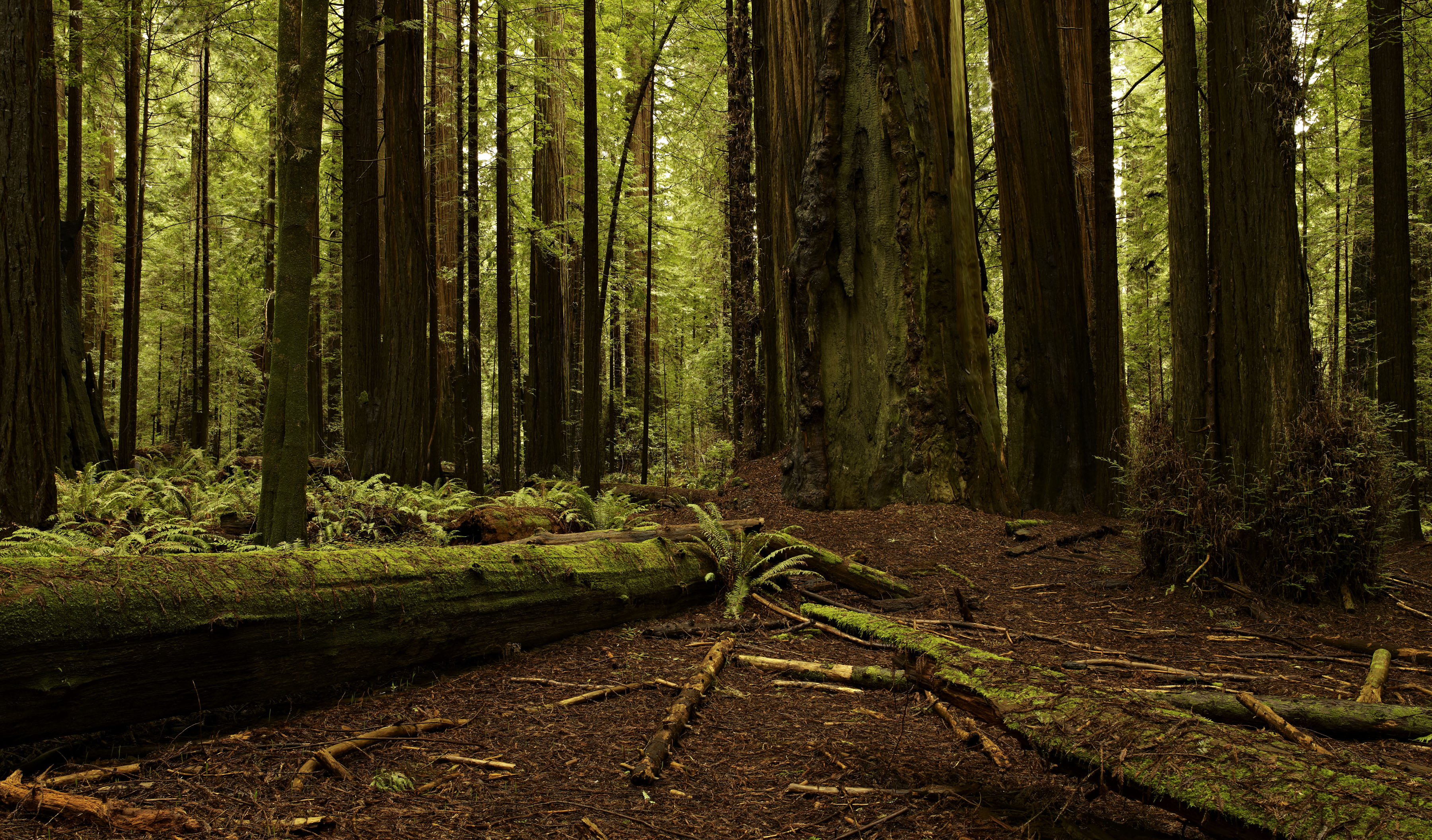 Redwood Forest, N. California, Click On The Image To See Larger, Then ...: kevinraber.com/2011/02/12/redwood-forest