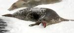 mean seal Antartica 15-00178