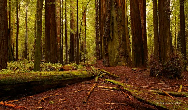 One Of My Many Images Of The Redwood Forrest