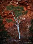Gum Tree in Orbitson Gorge, Austrailia