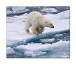 58 polar bear 44557