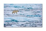 62 polar bear 2998
