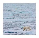 64 2 polar bears 2884