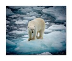 70 polar bear 3865