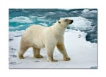 83 Polar bear 39982