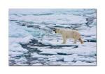 88 polar bear yawning 2600