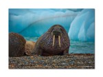 93 walrus on beach 3338