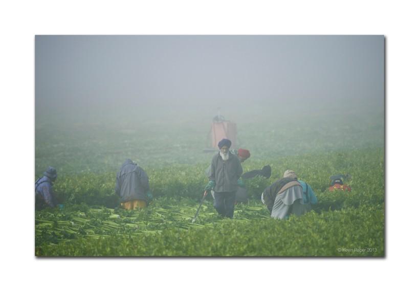 Celery Harvest, Holland Marsh, Canada, Nikon d800 400mm lens