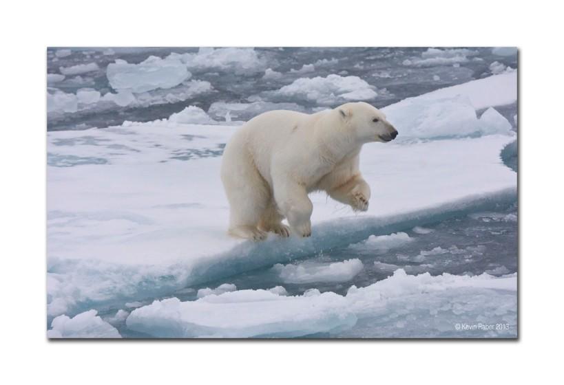 Polar Bear Jumping, August 2013