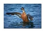 2 flying duck 1