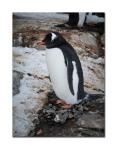 penguins 31