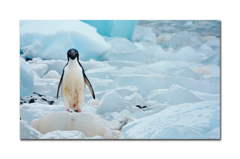 penguins 36