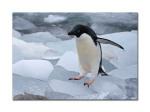 penguins 37