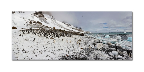 penguins pano 2