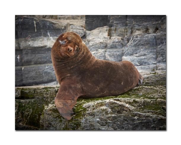 sea lions 7
