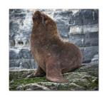 sea lions 8