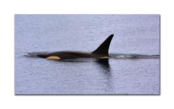 Big Orca