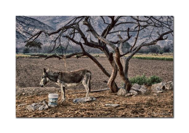 Donkey and Tree, Mexico