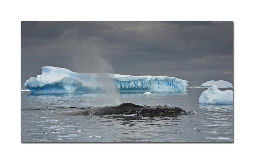 Humpback Whale and Icebergs