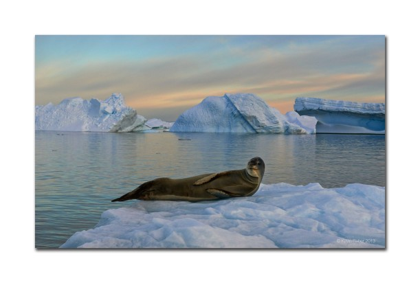 Seal On Ice, Antarctica