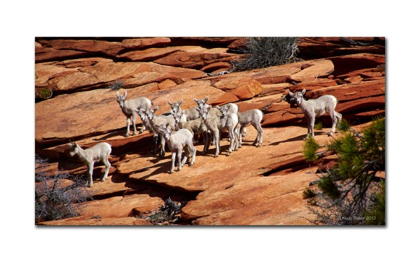 Mountain Goats, Zion National Park