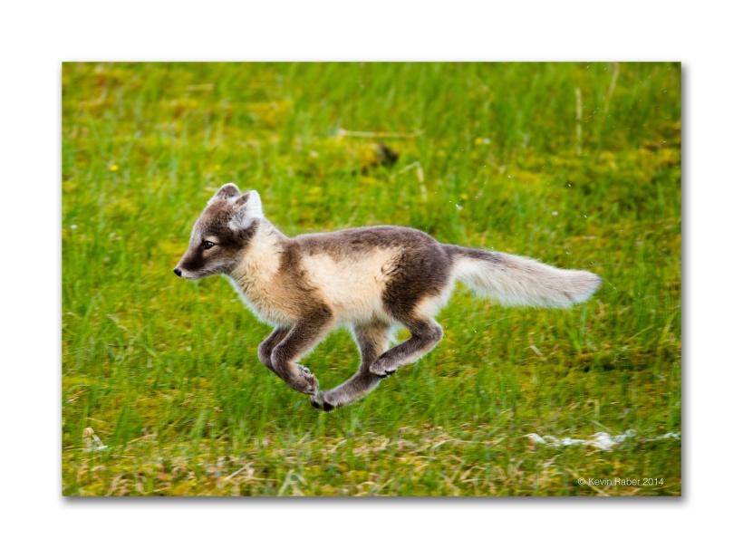 Arctic Fox, Svalbard, Norway