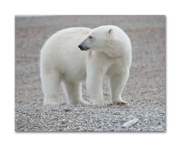 Classic Polar Bear, Svalbard, Norway
