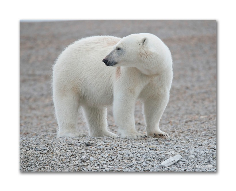 Classic Polar Bear, Svalbard, Norway