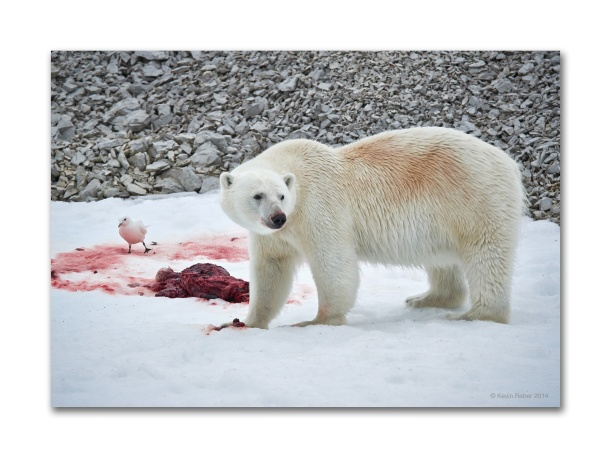 Polar Bear On A Kill