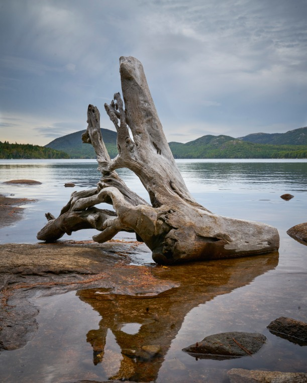 Tree on shore of a pond, Bar Harbor, ME
