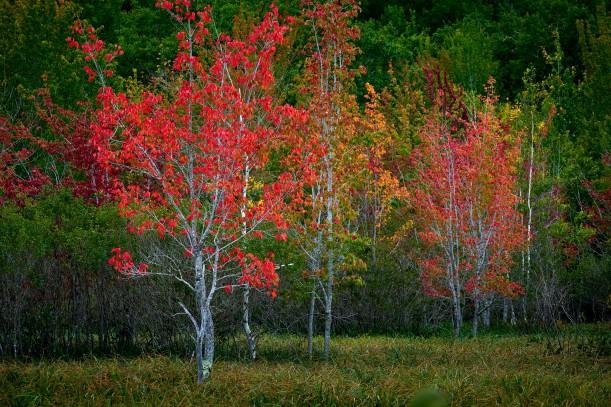 Trees Turning, Acadia National Park