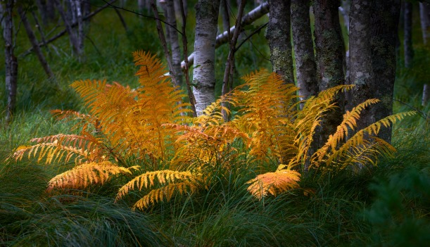 Ferns and Birches, Acadia National Park