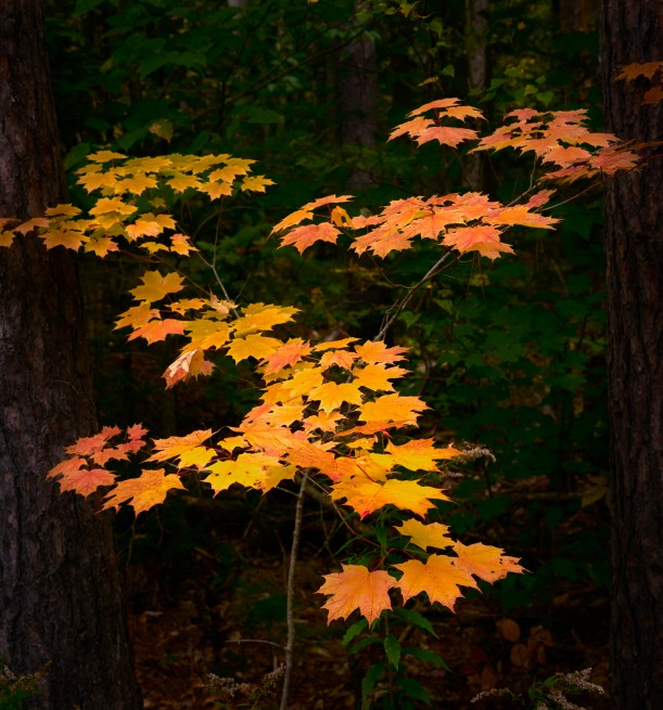 The Defining Fall Color